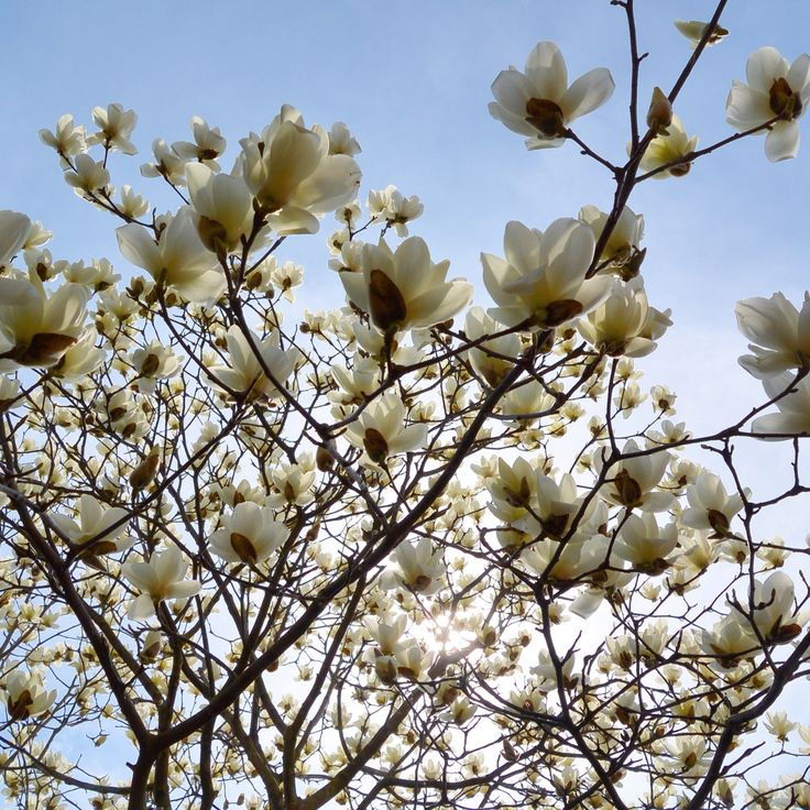 松川湖 木蓮 モクレン March 2015