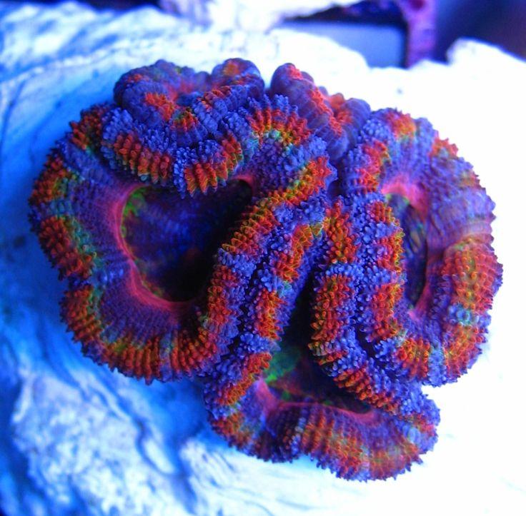 L'Acan Lord è uno dei coralli australiani più colorati. Ne esistono molte…