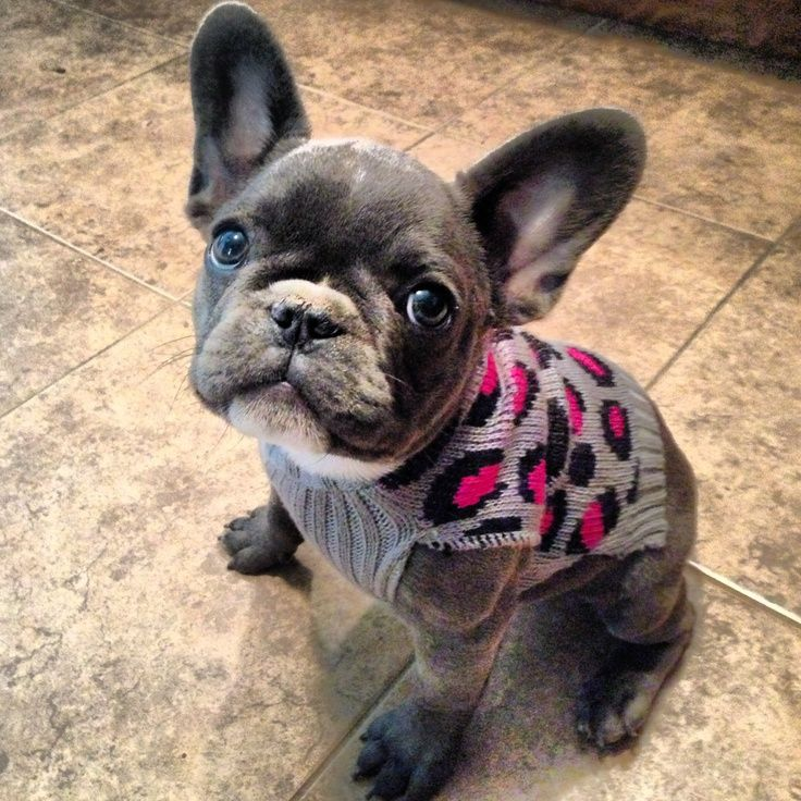 Gray French Bulldog Pictures French bulldog puppy blue
