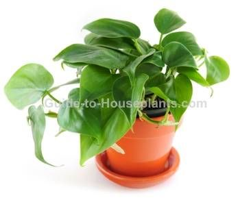 heartleaf philodendron, philodendron scandens, house plants