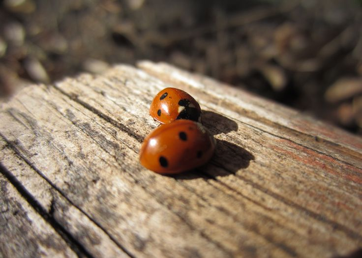 Two Little Ladybugs