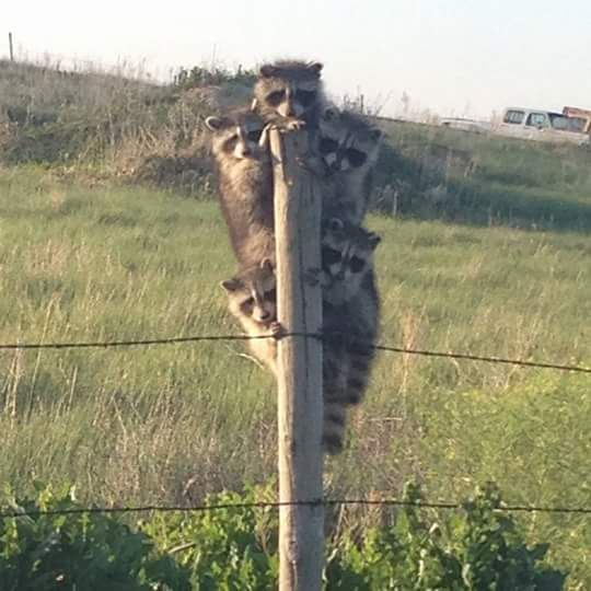 5 little coons climb a fence post... I don't know where that song was going