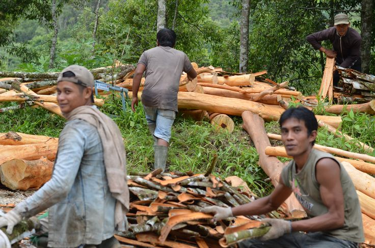 Workers peeling cinnamon bark to sell. Almost turned around to buy a piece of bark to chew on. #farmers #westsumatra