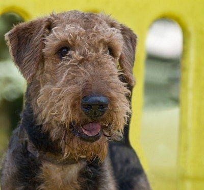 98 best images about Airedale Terrier on Pinterest  Dog artwork, Airedale terrier and Westminster