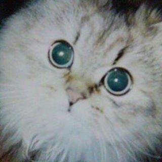 突然来るものですか? ヒマのボケ。 ヒマ 寝ながらオシッコしちゃうし、最近 子供みたいな声で鳴くんだ。 オシッコしちゃってるのにゴロゴロいってるし。 コレは猫用のオムツ決定だ。 何か今まで飼ってた猫 15年も生きたこと無かったから、こんなにも変わっていく姿に涙が出るよ。 コレが親だったらって思うと… みみ男は心臓、腎臓悪いし、ひまわりはボケ。 #ネコ#猫#愛猫#愛ネコ#ペット#ニャンコ#チンチラ#고양이 #ひまわり#ボケちゃった#寝ながらオシッコしちゃうようになった#老猫#可愛い顔で鳴くんだ#それが切ない#15歳の猫