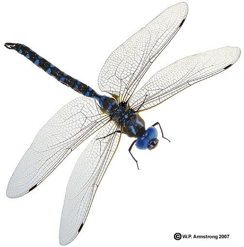 blue darner dragonfly... looks like the ones around my pond I enjoy every summer.