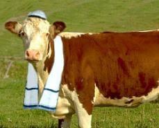 Jewish cow? #jewishpets