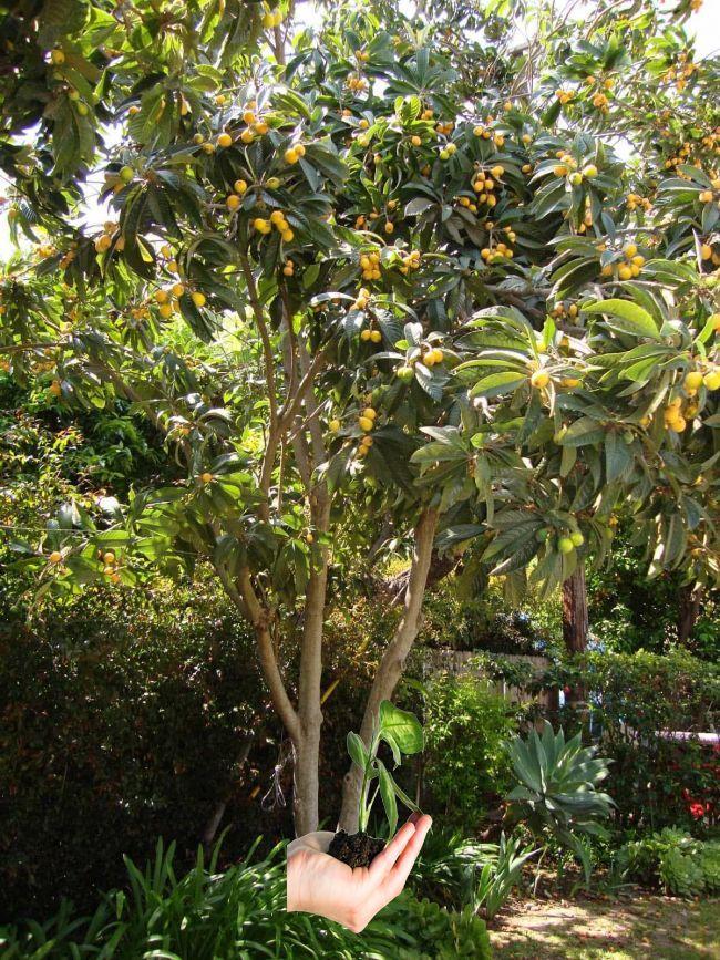 Outdoor Loquat Bäume In Ihrem Garten Die Frucht selbst hat eine weiche, fuzzy a… – House Plants