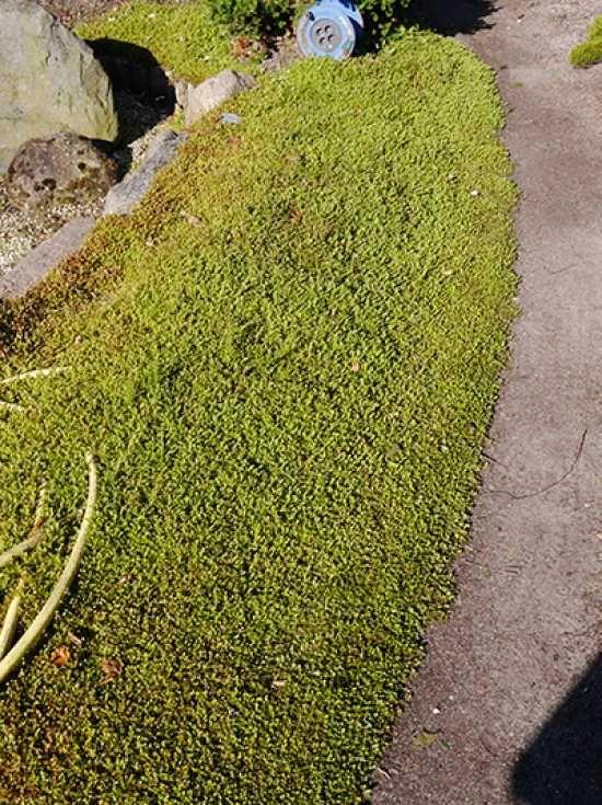 Leptinella squalida / Braunes Fiederpolster