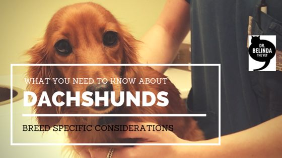 Dachshund breed specific considerations