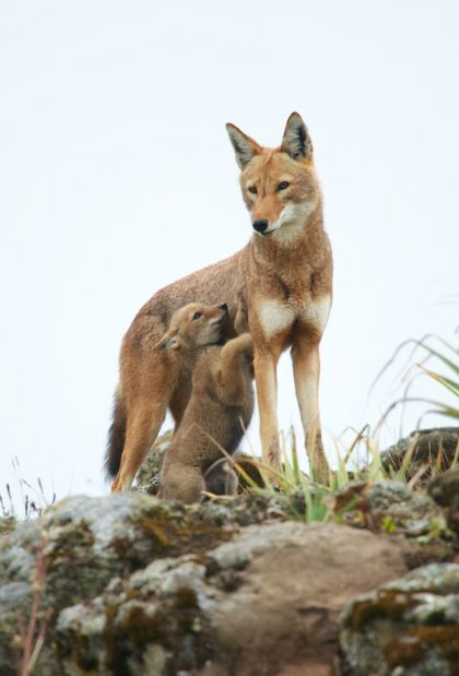Begging - An Ethiopian Wolf pup demands attention from Mum, by Ethiopian Wolf Project