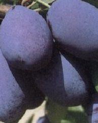 Stanley szilvafa
