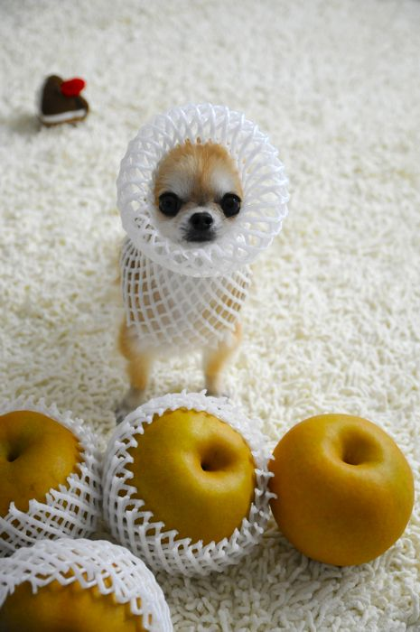 Chihuahua's Wear (photo by http://cat9lives.exblog.jp/)