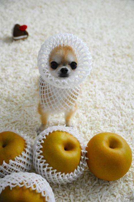 Chihuahua's Wear