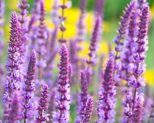 Šalvěj hajní ´Amethyst´ Latinský název : Salvia nemorosa ´Amethyst´ Atraktivní aromatická trvalka, se zářivě fialovými květy, z dálky připomínající levandule. Dorůstá do výšky 60-75cm a šířky 60-90cm. Vyžaduje plné slunce a sušší, dobře propustné půdy. Kvete od června do září. 44,- Kč
