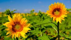 HD Sunflower Wallpaper for desktop