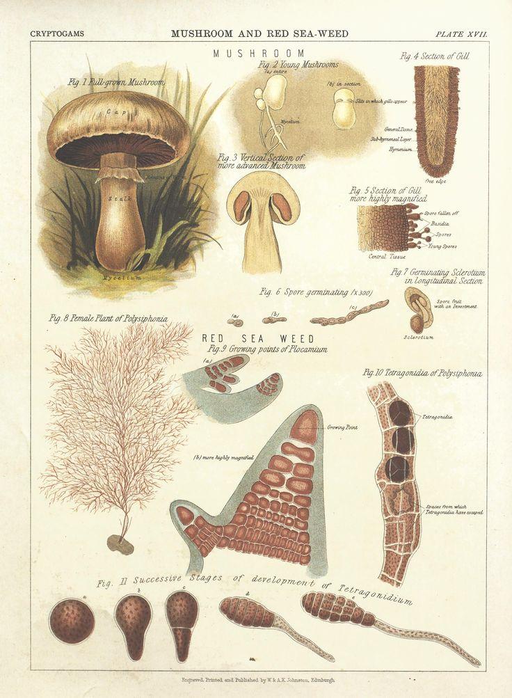 86 best planches de naturaliste images on pinterest illustration botanique planches et. Black Bedroom Furniture Sets. Home Design Ideas