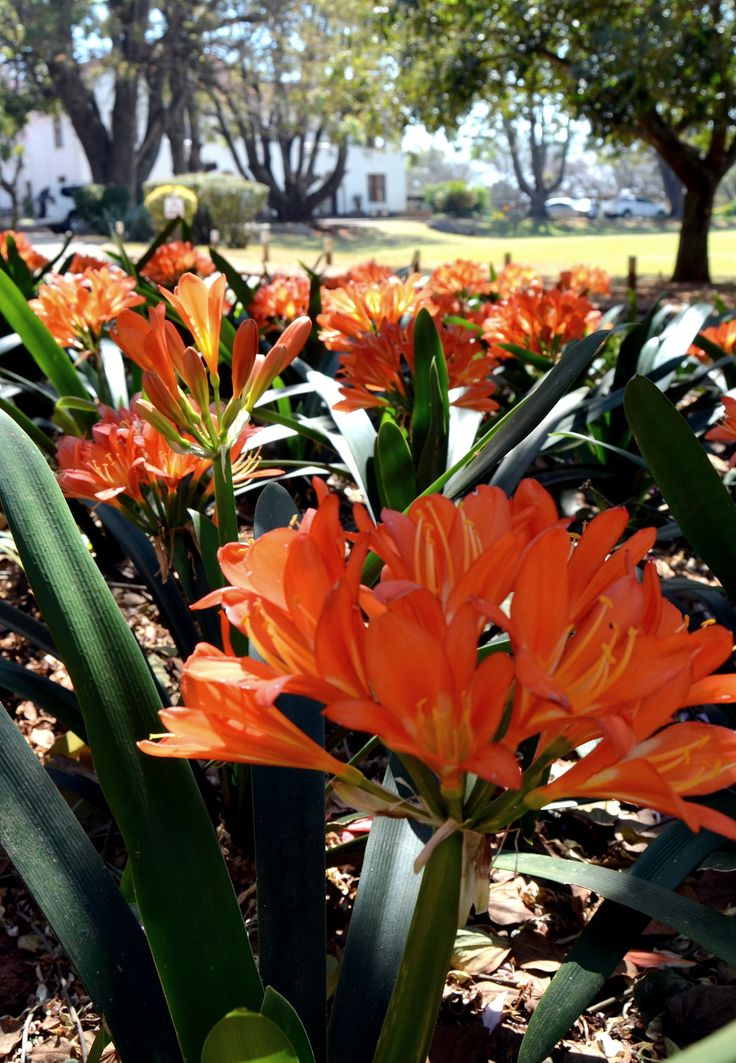 Shady #clivia gardens in the Webster House gardens of #Uplands by Rosemary Hall