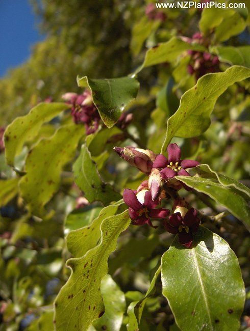 Pittosporum tenuifolium    Kohuhu.  Another fast-growing Pittosporum found throughout New Zealand forming colonies of small trees in a wide range of conditions. An adaptable garden plant for shelter or hedging. Kohuhu will regenerate from hard pruning and maintains a more compact form when clipped