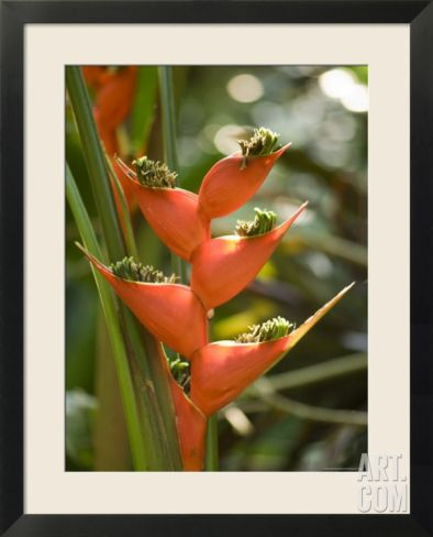Lobster Claw Flower from South America, Asheboro, North Carolina Framed Art Print by Joel Sartore at Art.co.uk