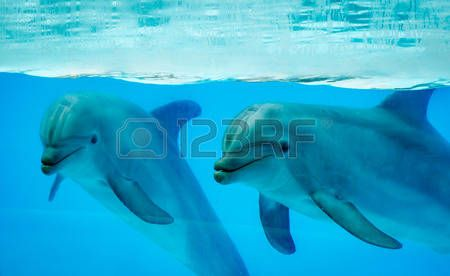 dolphin: Couple dolphins in a pool Stock Photo