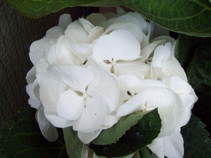 ortensia bianca - hydrangea