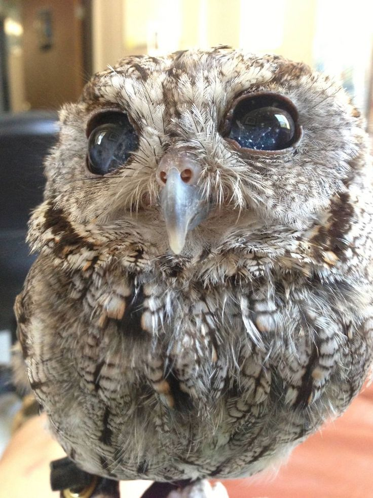 Meet Zeus, the owl that literally looks like he has stars in his eyes. Zeus is nearly blind in both eyes. He was found injured on a southern California porch.   Thankfully, the family that found Zeus did all of the right things, like taking him to get help right away. Due to Zeus' vision he cannot be released back into the wild, and so he lives a happy life at the Wildlife Learning Center.