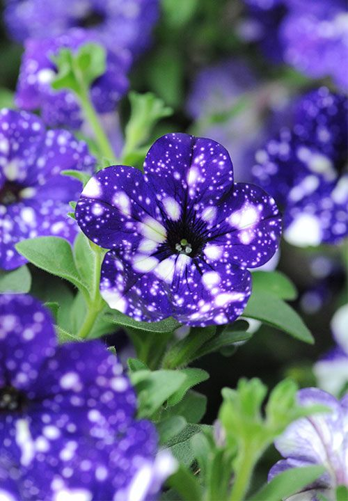 Petunia Night Sky by Thompson & Morgan - New Plants 2016