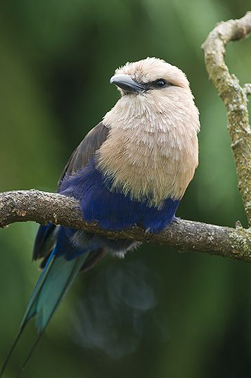 The Blue-bellied Roller (Coracias cyanogaster) is a member of the roller family of birds which breeds across Africa in a narrow belt from Senegal to northeast Democratic Republic of the Congo. It is resident, apart from some local seasonal movements, in mature moist savannah dominated by Isoberlinia trees.