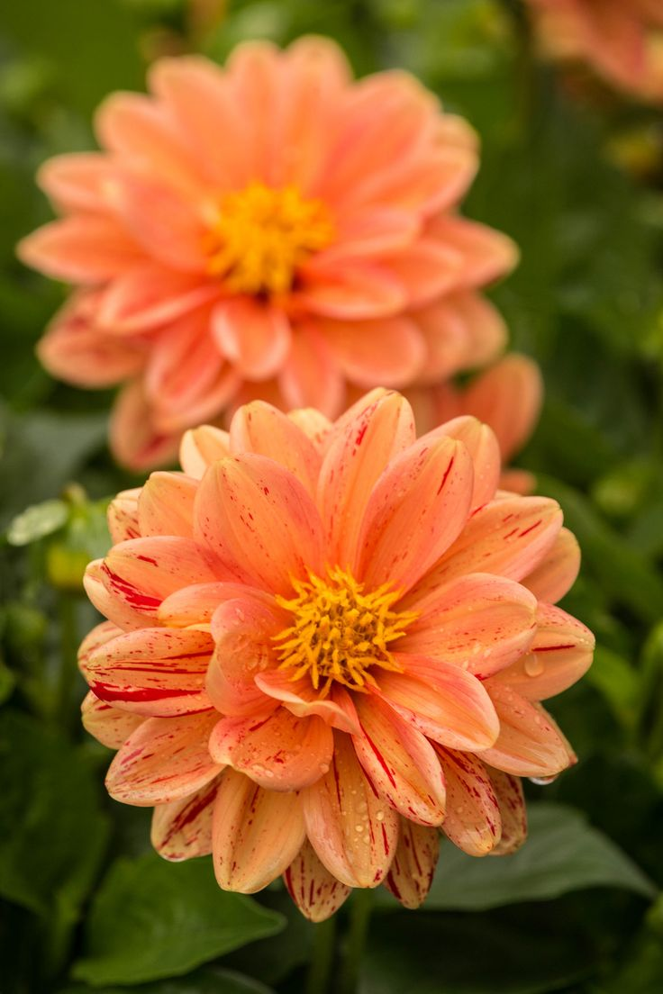 124 best dahlias images on pinterest plants flowers and nature dahlia jan carden dhlflorist Images