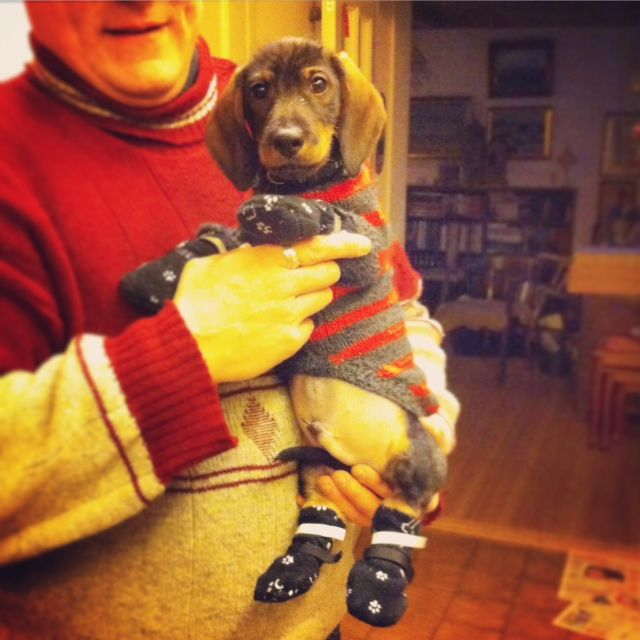 Finnish winter weather -26C means dog clothing even for the terror-of-deer wirehaired dachshund puppy.