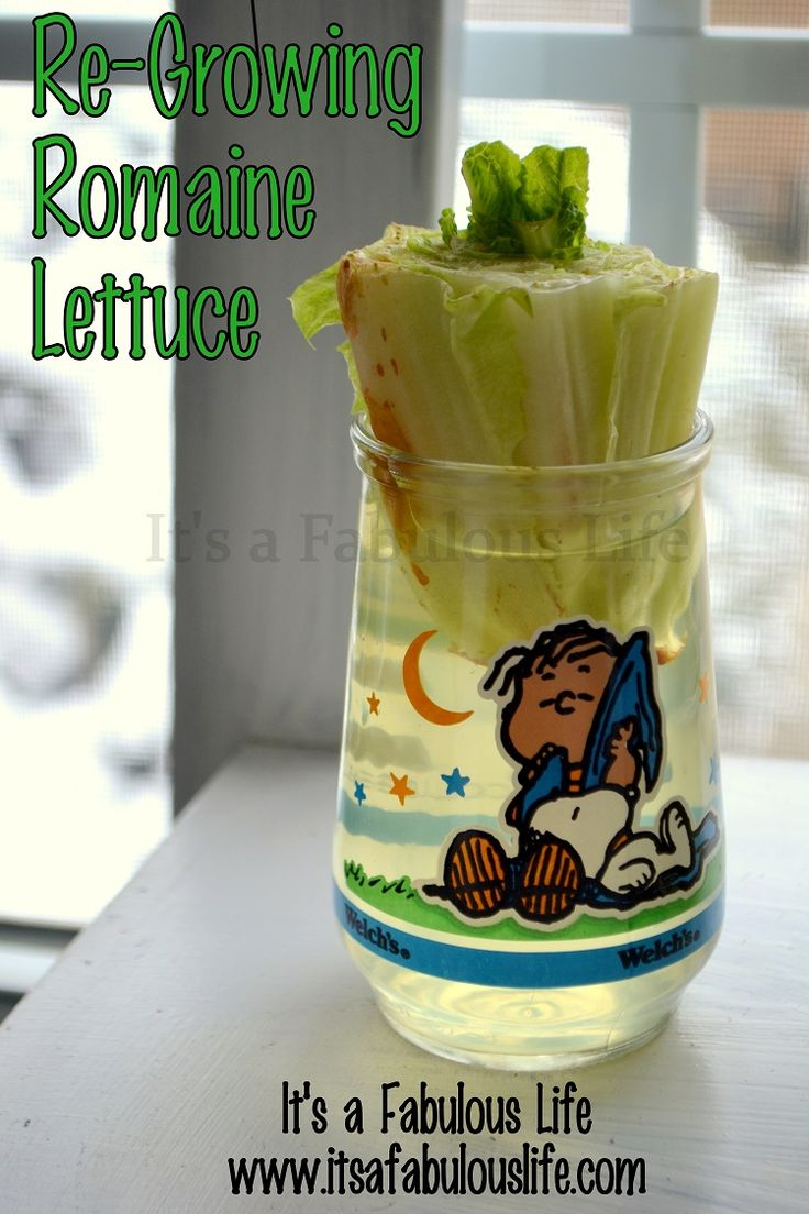 Re-Planting Your Kitchen Scraps: How to Re-Grow Romaine Lettuce.  Frugal + fun project for kids! Its A Fabulous Life #itsafabulouslife
