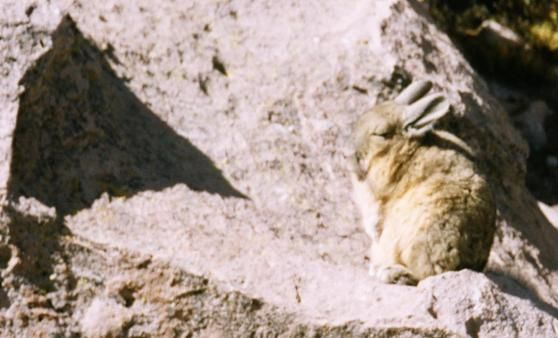 Vizcacha looks like a Rabbit, related to a rat | The Travel Tart Blog