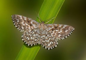 Lewes Wave(Scopula immorata) photographed by Mike Young Arps near Figeac, France