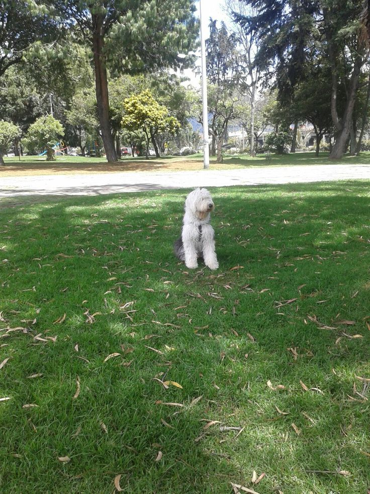 Luna pastor ovejero ingles con 8 meses