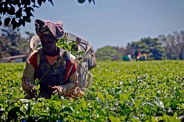 Tea Plantation - Wild Coast - South Africa