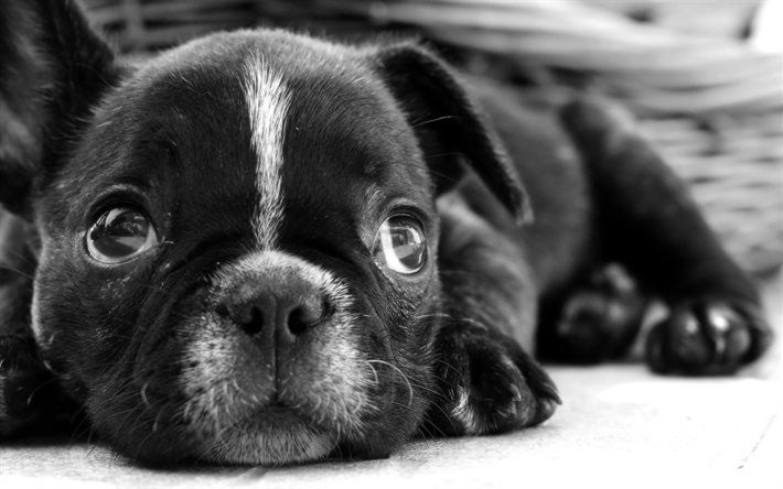 Herunterladen hintergrundbild monochrom, französische bulldogge, maulkorb, niedlich, tiere, welpen, hunde