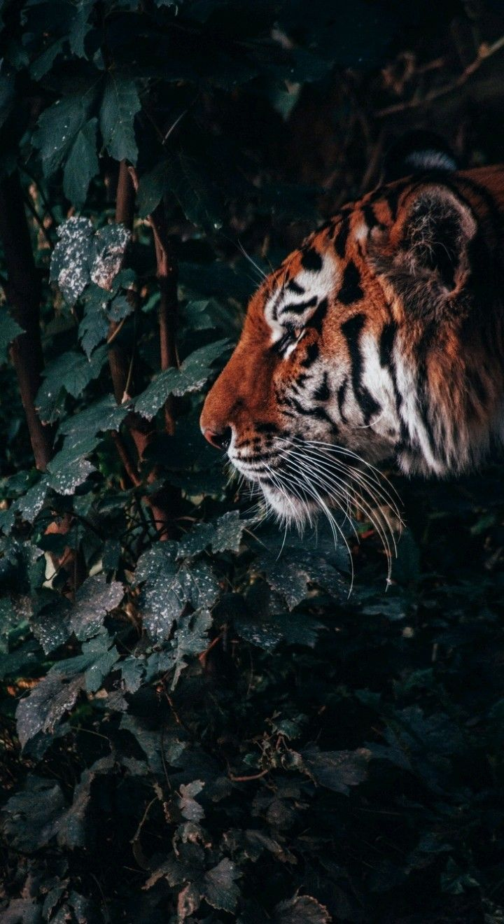 Pin By Iyan Sofyan On Animals Pictures Tiger Wallpaper Iphone