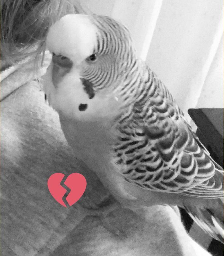 Benim mavi renkli muhabbet kuşum 1 ay önce öldü. çok uzun zamandır bizdeydi. Çok üzüldüm hala da üzülüyorum. Huzurla uyu Mavişim😔