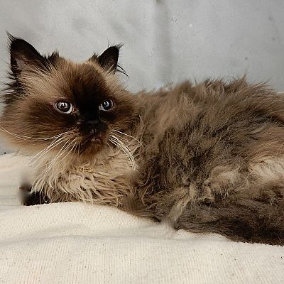 Himalayan cat new york