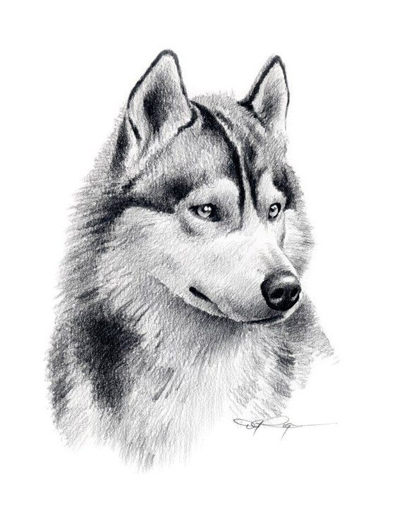 Siberian Husky Art Print Pencil Drawing By Artist Dj Rogers