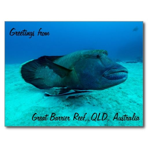 Maori Wrasse on the Great Barrier Reef Postcard