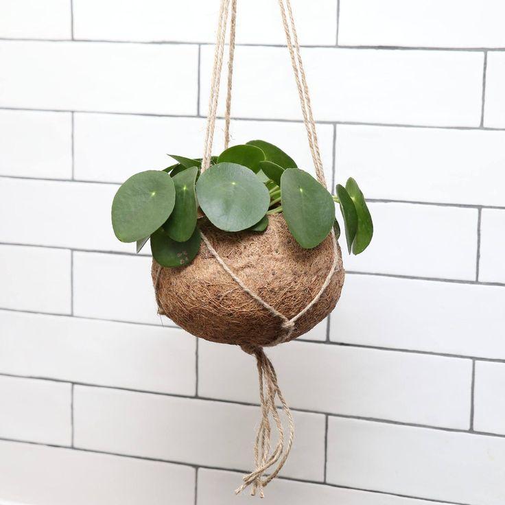 Pilea Peperomioides, Kokedama hanging planter, Chinese Money Plant – Living Room – interior design