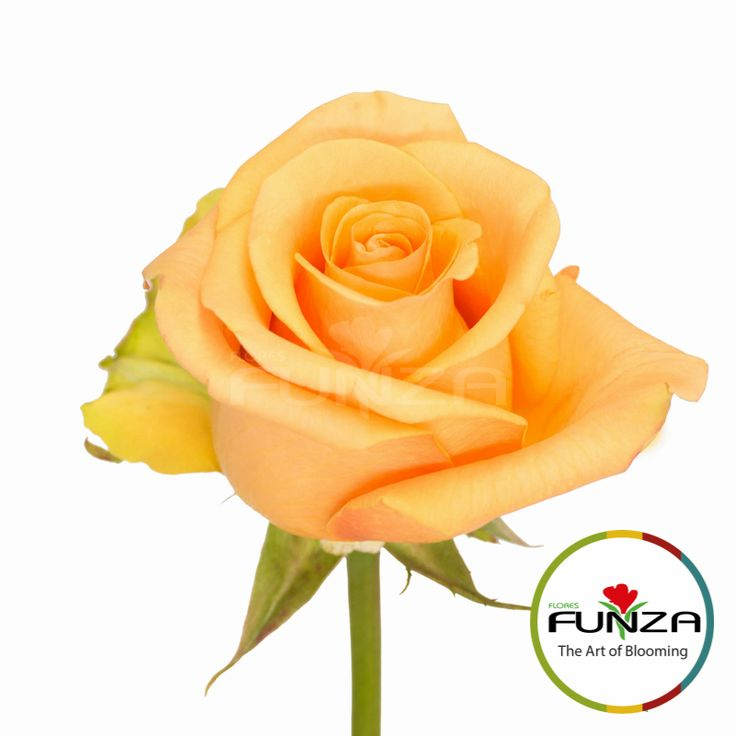 Peach Rose from Flores Funza. Variety: Cumbia, Availability: Year-round