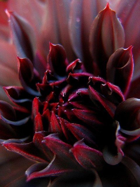 Burgundy petals opening