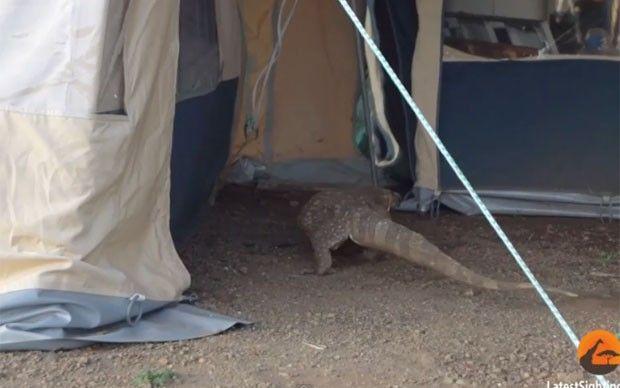 Turistas ficam em pânico após lagarto invadir barraca na África do Sul Cena ocorreu no Parque Nacional Kruger. No vídeo, é possível ouvir mulheres gritando quando veem o réptil.