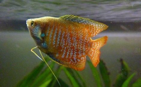 Gourami nain Trichogaster lalius (Colisa Lalia) - 6cm- Couple - Milieu/Surface - 22°/30° - Ph 5.5 à 7 - GH 4 à 12