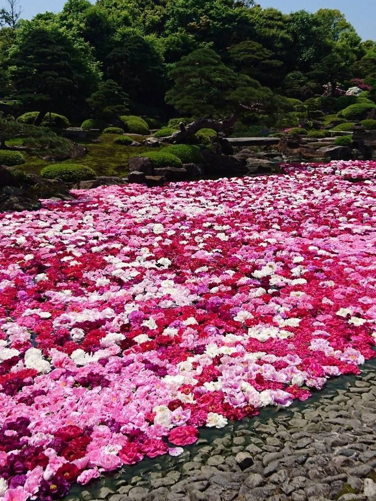 Yuushien Garden, Matsue, Shimane, Japan,  Japanese Peony