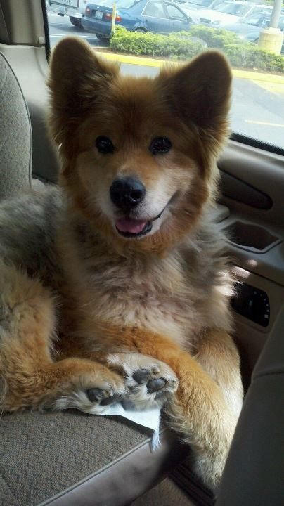 German shepherd chow mix Would love if Luna looked like this.  A big teddy bear.