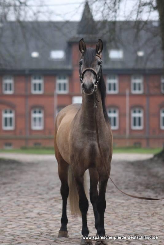 (99) Spanische Pferde Deutschland in Traventhal UG - Photos
